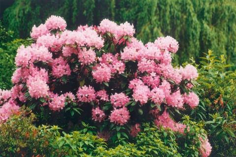 Rhododendron kopen bij HORNBACH