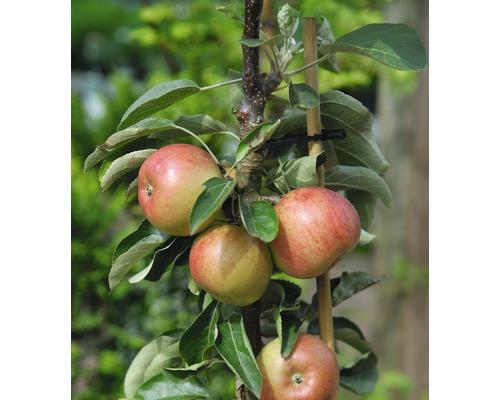 FLORASELF® Appelboom Malus domestica Starline ® 'Delgrina'