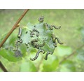 ECOSTYLE Aaltjes tegen larven van de bladwesp goed voor 10-60m²