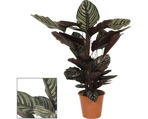 Marantaceae FloraSelf Calathea ornata H 80-90 cm Ø 19 cm pot
