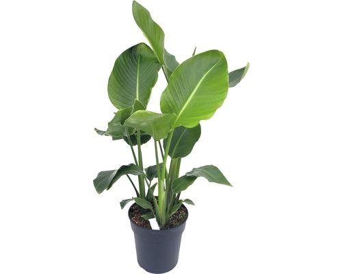 FLORASELF Paradijsvogelplant Strelitzia nicolai potmaat Ø 24 cm H 90-120 cm