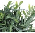 FLORASELF Blauwvaren Phlebodium aureum potmaat Ø 17.0 cm H 30-40 cm