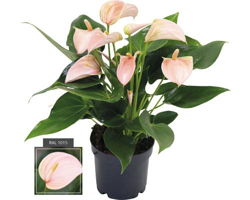 FLORASELF® Flamingoplant Anthurium Peach oranje potmaat Ø 12 cm