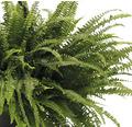 FLORASELF Varen Nephrolepis exaltata 'Green Lady' potmaat Ø 50.0 cm H 50-55 cm