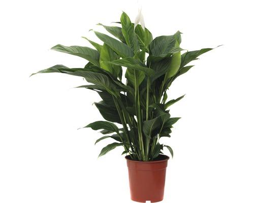 FLORASELF Spathiphyllum Ø21 cm H105 cm
