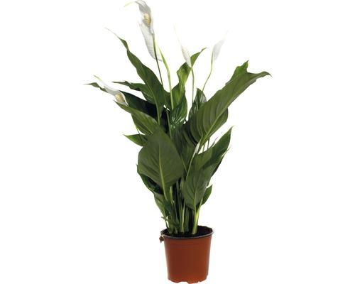 FLORASELF Spathiphillium sweet silvio Ø14 cm H90 cm