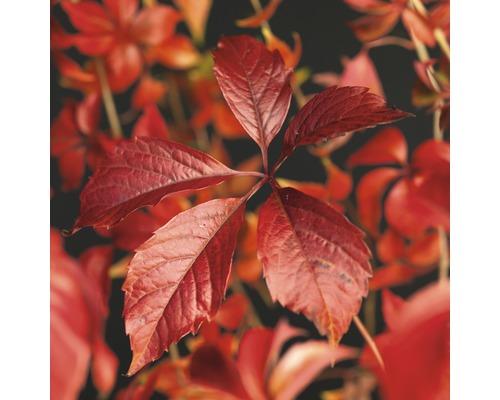 FLORASELF Klimplant parthenocissus engelmannii 2,3 l 53-70 cm
